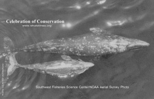 Gray whale and calf swimming north.