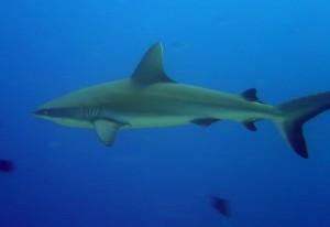 Gray reef (Carcharinus amblyrhynchos) Courtesy NOAA Photo credit David Burdick