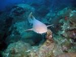 Nurse shark (Ginglymostoma cirratum)  Courtesy NOAA
